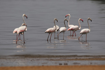 Greater Flamingos are local migrants in Pakistan. They love to breed around mangroves and eat small shrimps that give them the pink tone. Beautiful and look clumsy in flight