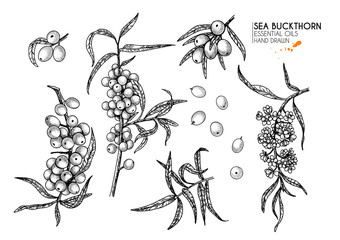 Hand drawn sea buckthorn branches. Vector engraved illustration. Healing tea and medical eatable berry. Food ingredient, cooking, beauty. For cosmetic package design, medicinal herb, treating.