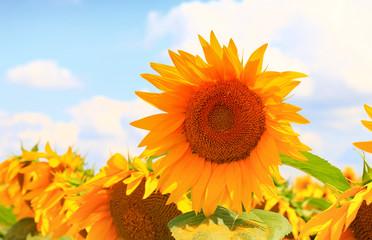 Wall Mural - Beautiful sunflower closeup