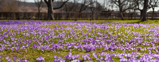 Colorful spring landscape in Carpathian village with fields of blooming crocuses. Saffron blossoms on a bright sunny day in the garden near the house.