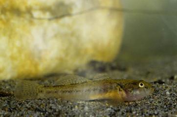 ghiozzo padogobius nigricans pesce di fiume