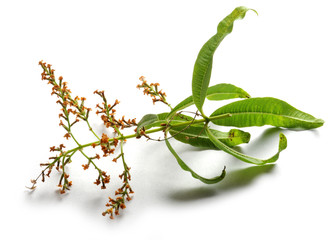 Cymbopogon Citronella Lemongrass Citronnelle Zitronengräser Hierba de limón नीबू घास 香茅 سرده Palczatka עשב לימון Цимбопогон علف لیمو Citroengras