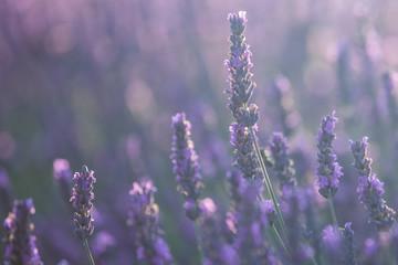 Beautiful lavender flowers in bloom.