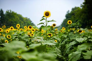 Stand Tall Sunflower