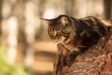 beautiful Maine Coon cat in the forest on a tree