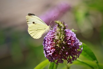 White and yellow butterfly, Pieris rapae, with black dot, sitting on purple flower of Buddleja davidii, favorite butterfly bush, sunny summer day, blurry background