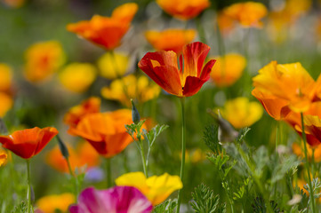 Eschscholzia californica cup of gold flowers in bloom, californian field, ornamental wild plants on a meadow