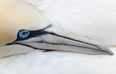 Northern gannets, Canada.