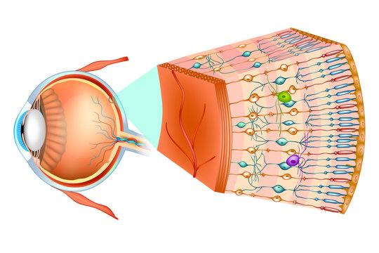 Structure of the human eye and organization of the retina. Optic part of retina.
