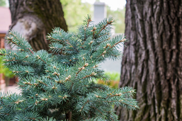 Various fragrant coniferous trees and bushes in a park of stones under the open sky. Shades of green and turquoise, light and dark. Needles and deciduous.