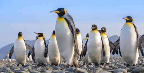 Photo sur Aluminium Pingouin King Penguins, Salisbury Plain, South Georgia Island, Antarctic