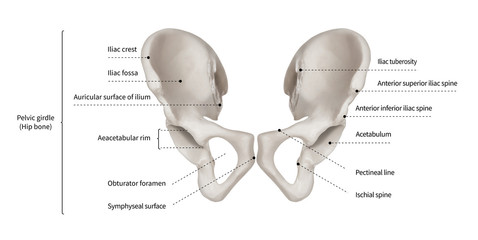 Infographic diagram of human hip bone or pelvic girdle anatomy system anterior view- 3D- Human Anatomy- Medical Diagram- educational and Human Body concept- Isolated on white background
