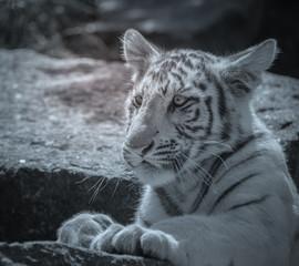 bébé tigre seul qui joue en gros plan au zoo en noir et blanc