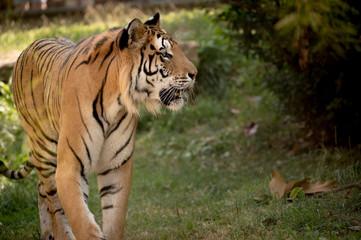 tigre seul adulte de profil au zoo en été marche sur l'herbe en couleur