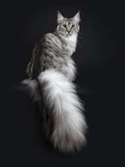 Majestic silver tabby young adult Maine Coon cat sitting backwards looking over shoulder with enormous tail hanging over edge, looking straight at lens isolated on black background