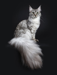 Majestic silver tabby young adult Maine Coon cat sitting side ways with enormous tail hanging over edge, looking straight at lens isolated on black background
