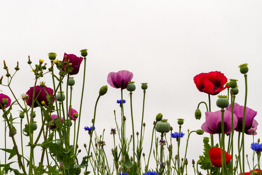 Wildflowers, especially poppies, growing in front of a white background