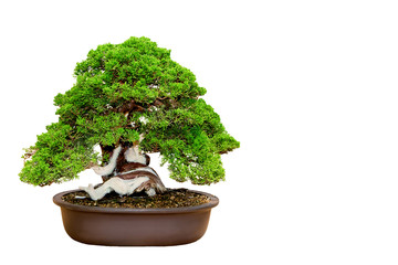 A small bonsai tree in a ceramic pot isolated on a white background.