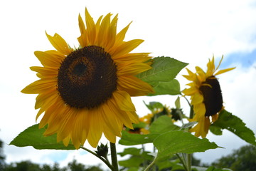 Canvas Prints Sunflower de zonnebloem in bloei in de stadstuin