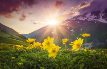 Vibrant mountain landscape with yellow flowers on foreground at sunset in Svaneti region of Georgia. Colorful sky over mountains and flowers on green meadow. Bright sunbeams over mountain. Sunrays.