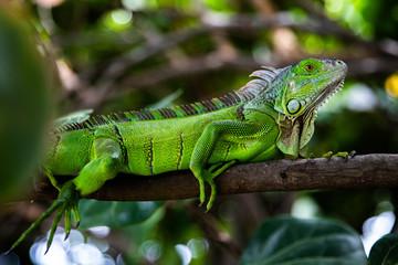 beauty lizard