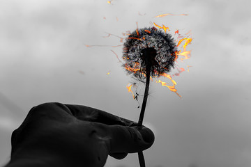 dandelion on fire, black and white photo