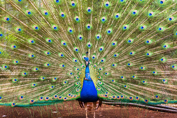 Close up of beautiful male peacock showing up his feathers, blue and green colors, selective focus