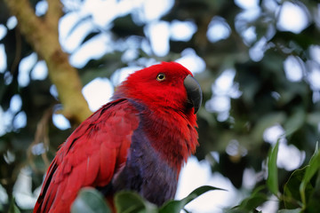 Red and blue Electus Parrot (Eclectus roratus)