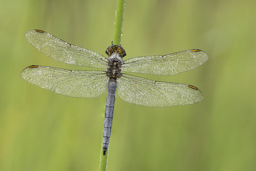 Beautiful nature scene with dragonfly Keeled skimmer (Orthetrum coerulescens) . Macro shot of dragonfly Keeled skimmer (Orthetrum coerulescens)  on the grass.