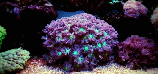 Clavularia glove polyps isolated image in saltwater aquarium