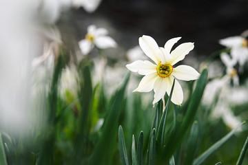 detail of a mountain daffodil, italian Alps
