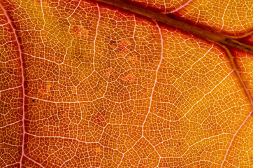 Nature Abstract: Cells and Veins of a Colorful Autumn Leaf
