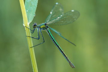 Beautiful nature scene with Banded demoiselle (Calopteryx splendens). Macro shot of Banded demoiselle (Calopteryx splendens) on the grass in the nature habitat.