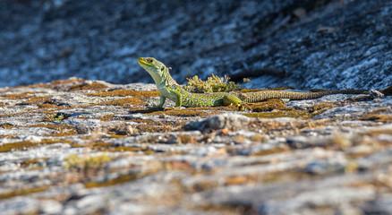 Lacerta lepida - Green Lizard of Iberian Peninsula, Portugal.