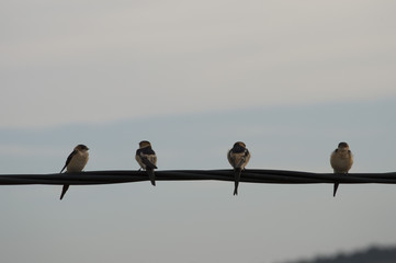 Birds swallows on the wire
