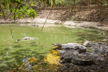 Crocodiles at Kachikally Crocodile Pool in Bakau