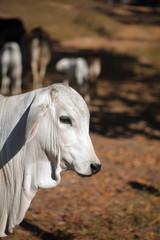 beautiful cow Nelore portrait closed