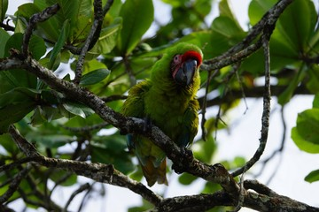 Great green macaw (Buffon's macaw) sitting on the branch of a tropical tree
