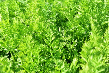 Young green carrot leaves texture. Agriculture background with green carrot leaves
