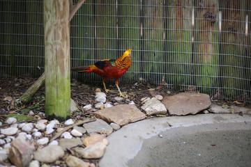 Golden Pheasant (Chrysolophus pictus) in Captivity