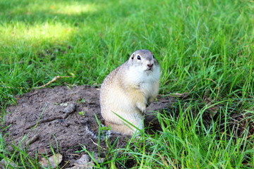 Very fat gopher sitting and eating on the lawn. Animal closeup