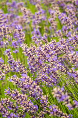 purple lavender flower field in vertical frame