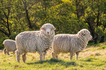 flock of New Zealand merino sheep grazing on fresh grass