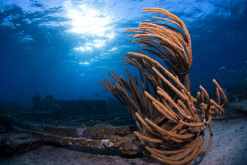 Horn Coral on a wreck in clear blue water with sun in the background in beautiful seascape