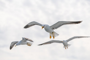 The great black-backed gull is the largest member of the gull family. It breeds on the European and North American coasts and islands of the North Atlantic Wall mural