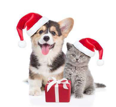 Pembroke Welsh Corgi puppy and kitten in red christmas hats sitting with gift box. isolated on white background