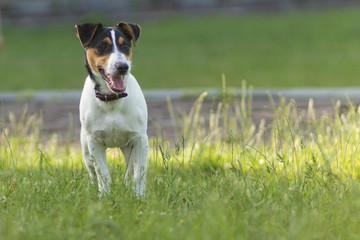 Jack Russell parson terrier a walks along the green grass the camera.