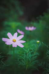 Cosmos flowers on a green background.