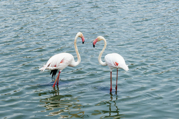 beautiful flamingos couple in a lake