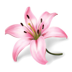Plink lily flower isolated on white background. Realistic vector illustration.